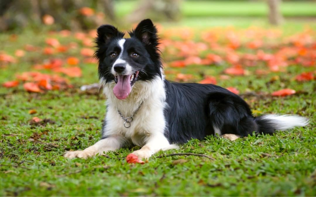 Cães pastores podem diminuir custo e aumentar produtividade em rebanho