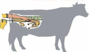 O que é a inseminação artificial em bovinos?  E qual as vantagens?